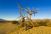 image of mesquite  - An old weathered tree on the Mesquite Flat Dunes in Death Valley National Park - JPG