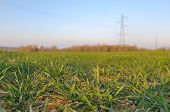 picture of electricity pylon  - close on wheat seedling on a field with electricity pylon far away