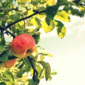 vintage photo of apple on the branch