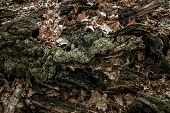 foto of backwoods  - The exposed and moss covered roots of an old tree - JPG