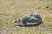 Guinea fowl sitting on grass