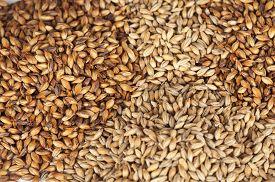 image of malt  - Close photo up of malt grains - JPG