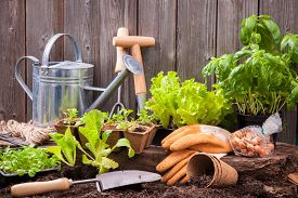 pic of humus  - Seedlings of lettuce with gardening tools outside the potting shed - JPG