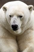 pic of polar bears  - The Polar Bear is the largest land carnivore of the world - JPG