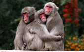 Japanes Macaques