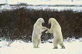 Fight Of Polar Bears