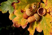 pic of glans  - Autumn acorns - JPG