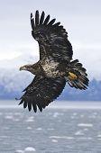 Águila calva de Alaska