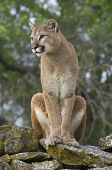 foto of mountain lion  - Mountain Lion on moss covered rocks during spring time - JPG