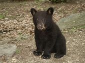 image of bear cub  - black bear cub watching me as i take his picture - JPG