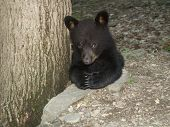 Praying Black Bear Cub