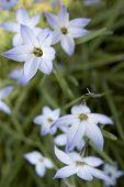 Star Flower 01