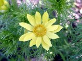 picture of adonis  - fine yellow flower of an adonis close up on a background of green carved leaves - JPG