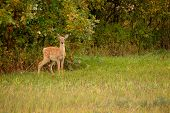 Whitetail Faw In Clearing