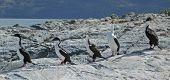 Row Of Imperial Cormorants