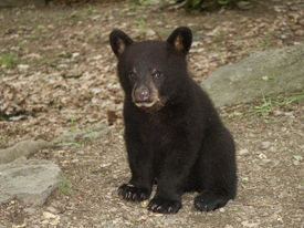 picture of bear-cub  - black bear cub watching me as i take his picture - JPG