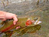 Rainbow Trout release, fly fishing