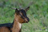 The Domestic Goat (capra Aegagrus Hircus (capra Domesticus) Is A Subspecies Of Goat Domesticated Fro poster