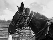 image of blinders  - amish horse harness and haltered wil blinders on - JPG