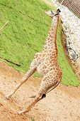picture of ox-pecker  - The giraffe on neck standing alert in zoo - JPG