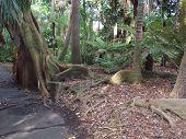 Melbourne Botanic Garden Fern Gully Moreton Bay Fig