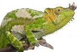 Close-up of Four-horned Chameleon, Chamaeleo quadricornis, in front of white background