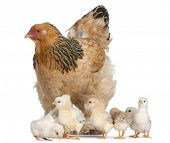 Brown Brahma Hen and her chicks in front of a white background