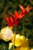 Bloomin Dutch Tulip