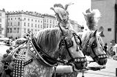 Horses In Harness Decorated With Feather, Pompon, Brass In Square In Krakow, Poland. Ride, Tour, Sig poster