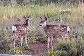 stock photo of black tail deer  - Black Tailed Mule Deer Fawns In Bryce Canyon National Park - JPG