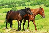 picture of brown horse  - Two horses on the summer green field - JPG