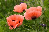 This is a picture of pink poppies which bloomed in the field