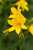 Yellow Lily on a nature background, close up shot
