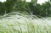 Green Feather Grass In The Steppe Or Forest. A Lawn With White Fluffy Grass, Nassella Tenuissima, Is poster