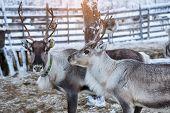 Reindeer Herd, In Winter, Lapland, Northern Finland poster