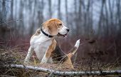 Funny Dog Breed Beagle For A Walk In The Autumn Park In A Thick Fog. Portrait Of A Beagle On A Lands poster
