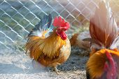 Close Up Portrait Of Bantam Chickens, Poultry. poster