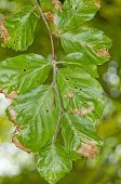Damaged beech (Fagus sylvatica) foliage poster