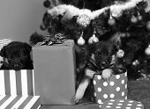 Doggies Look Out Of Striped And Spotted Christmas Boxes poster
