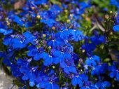 image of lobelia  - A shot of a Lobelia Erinus flower - JPG