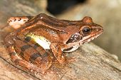 Agile Frog on a log close-up - Rana dalmatina