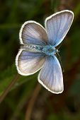 Silver-studded Blue ( Plebejus argus ) butterfly close up - seen ventraly