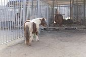 White-brown Pony Looks To The Right.white-brown Pony Looks To The Right. poster