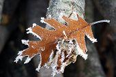 Quercus Rubra Leaf