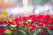 Red Poinsettia In The Garden With Light Bokeh Celebration Background / Poinsettia Christmas Traditio poster