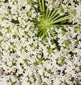 Queen Ann's Lace Closeup