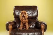 Big Boss. English Cocker Spaniel Young Dog Is Posing. Cute Playful Brown Doggy Or Pet Sitting In Arm poster