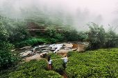 Green Tea Plantations In The Mountains. Couple In Love Travels To Sri Lanka. Honeymoon Trip. Tea Pla poster