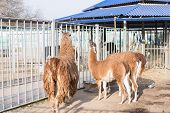 Llamas Are In Their Cage At The Zoo.llamas Are In Their Cage At The Zoo. poster
