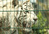 Closeup View Of Bengal White Tiger At Enclosure In Zoo poster